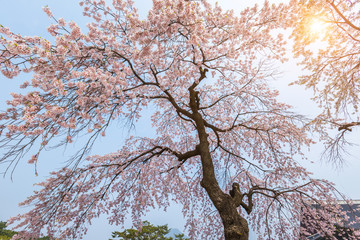 Wall Mural - Cherry blossom tree in spring for background or copy space for text