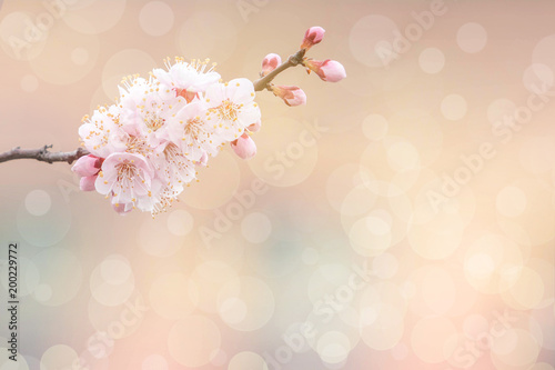 Wall mural Cherry blossom in spring for background or copy space for text
