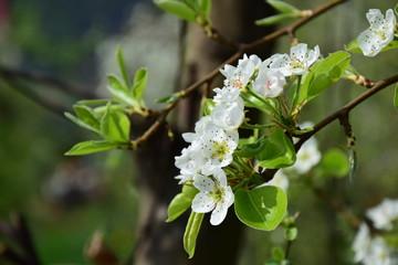 Blütezeit in Südtirol, Birnbaumblüte