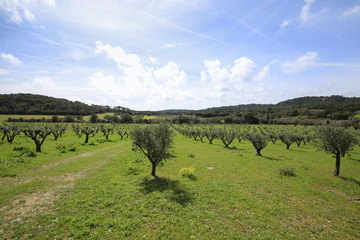 rural landscape with olive trees, lots of green and blue sky