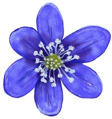 Fiore di Hepatica nobilis, Epatica