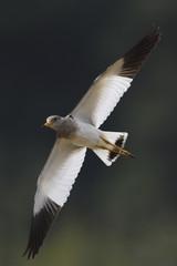 Grey-headed Lapwing bird flying