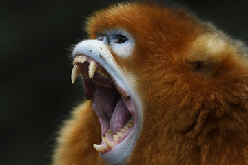 Close up of golden snub nosed monkey