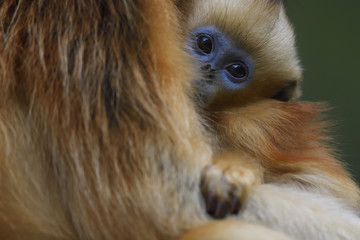 Portrait of baby Golden Snub-nosed Monkey