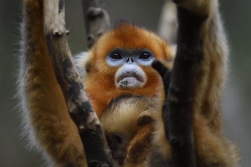 Golden snub nosed monkey with her baby on branch