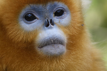 Portrait of Golden Snub-nosed Monkey