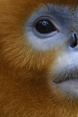 Vertical Portrait of Golden Snub-nosed Monkey