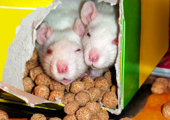 Two small rats of albino ate a hole in a box with food.