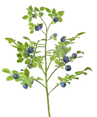 medium green blueberry lush branch with berries