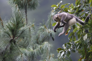 Yunnan or Black Snub-nosed monkeys jumping between trees