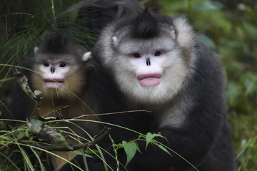 Two Yunnan or Black Snub-nosed monkeys sitting on the ground