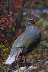 Portrait of male Blood Pheasant