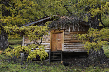 Herdsmans cabin and green larch trees