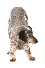 Mischlingshund verbeugt sich