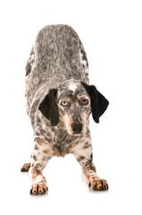 Mischlingshund verbeugt sich - isoliert auf weißem Hintergrund