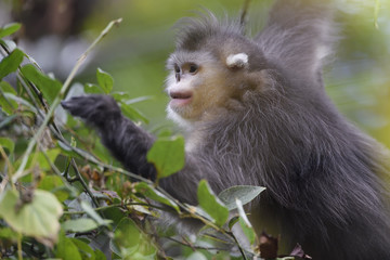 Yunnan or Black Snub-nosed monkey in a tree