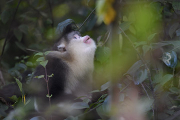 Yunnan or Black Snub-nosed monkey sitting in foliage