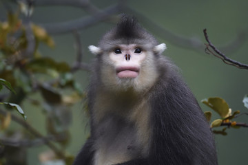 Yunnan or Black Snub-nosed monkey portrait