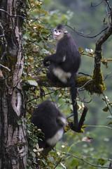 Yunnan or Black Snub-nosed monkey sitting in a tree