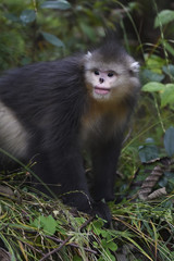 Yunnan or Black Snub-nosed monkey sitting on the ground