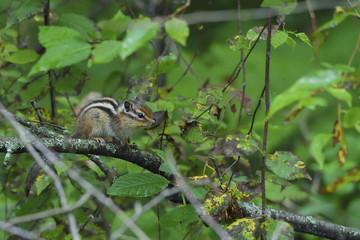 Siberian Chipmunk squirrel