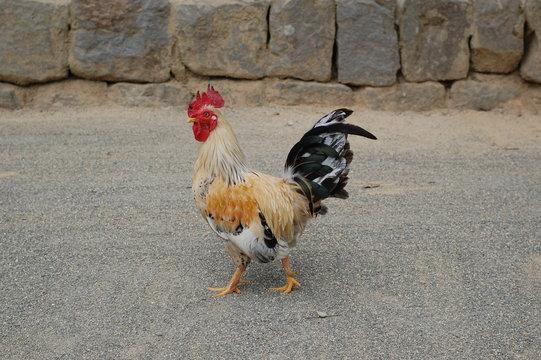 青井阿蘇神社の鶏