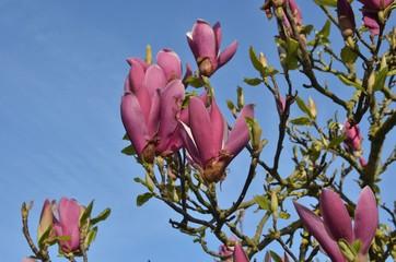 Magnolia Soulangeana, parc municipal de la Roseraie, Nantes