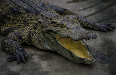 Close up picture of an alligator