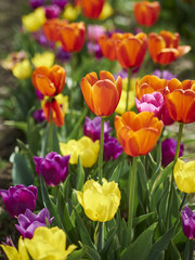 Colorful field of newly bloomed tulips in a spring day