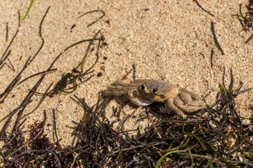 Krabbe auf Jamaika