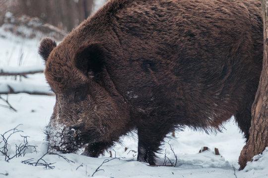 Wildschwein auf der Schwäbischen Alb im Winter