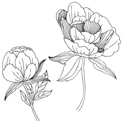 Wildflower peony flower in a vector style isolated. Full name of the plant: peony. Vector wildflower for background, texture, wrapper pattern, frame or border.