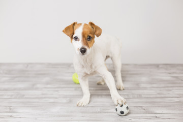 cute small dog playing with a tennis ball and having fun. Looking at the camera. Pets indoors. Fun and lifestyle