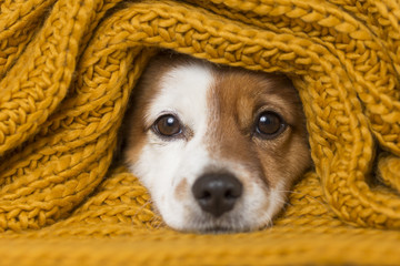 portrait of a cute young small dog looking at the camera with a yellow scarf covering him. White background. cold concept