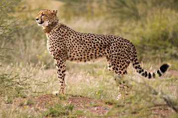 Female Cheetah on the lookout for prey