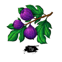Fig branch vector drawing Hand drawn isolated fruit. Summer