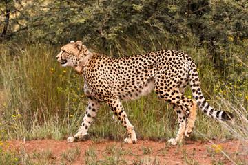 Female Cheetah strolling around to start the stalk