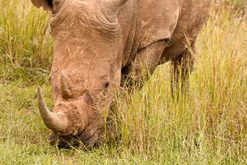 White Rhinoceros grazing in the long grass