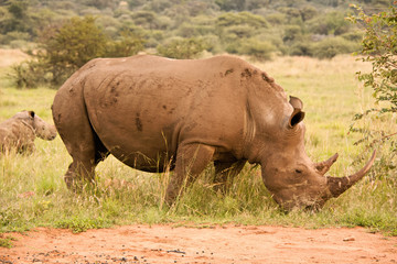 White Rhinoceros mother with her young calf in the background