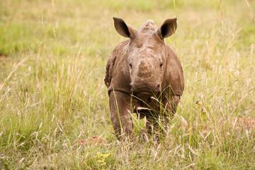 White Rhinoceros calf running playfully through the long grass