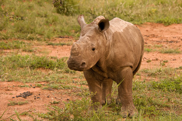 White Rhinoceros calf standing still while unsure as to how to react to the new activity