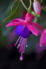 Backside of a pink and blue fuchsia flower.