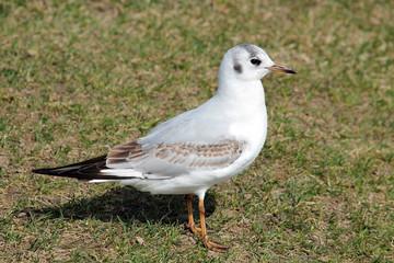 Black-headed gull (Chroicocephalus ridibundus) in juvenile plumage against green grass