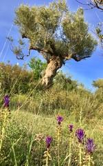 Alter Olivenbaum auf Blumenwiese