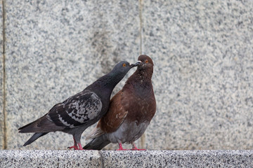 Couple of pigeons on the city street. Birds