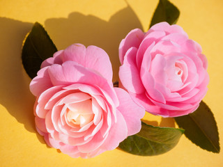 Pink Camellia in spring