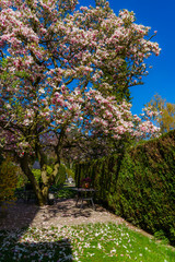 Green fence and beautiful pink magnolia on the sun