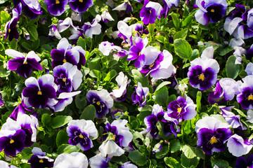 Close-up of a carpet of purple violets viola - a floral background
