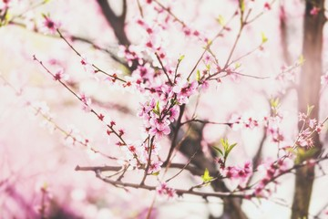 spring tree blossom. tree flowering. spring wallpaper