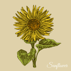 Sunflower. Color card. Engraving style. Vector illustration.